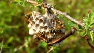 Hornet's nest. video