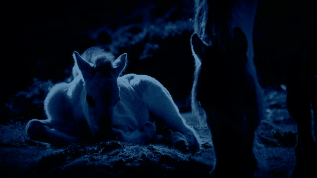 Horse And Foal Grazing In The Moonlight video
