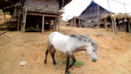 Horse at indigenous native tribal Akha tribe village, Pongsali, Laos video