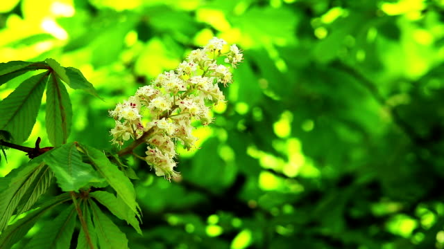 Horse Chestnut Seed video
