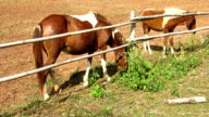 horse eating grass in farm video