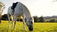 SLO MO Horse eating grass on pasture video