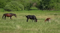 Horse family in the pasture video