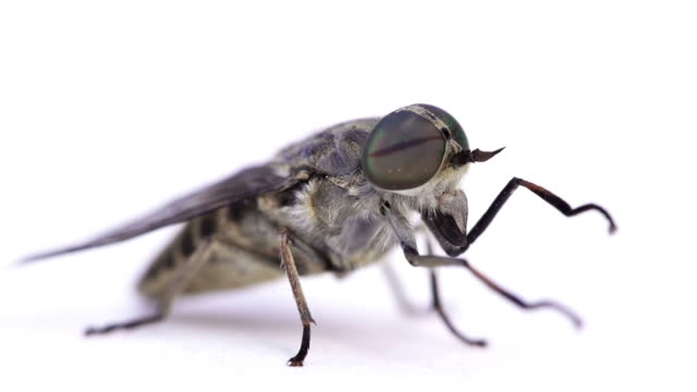 Horse Fly video