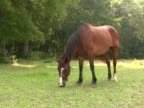 Horse Grazing 2 PAL video