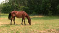 Horse Grazing 4 HD video