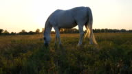 Horse grazing on the meadow at sunrise. Horse is eating green grass in the field. Close up. video