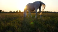 Horse grazing on the meadow at sunrise. Horse is walking and eating green grass in the field. Close up. Beautiful background video