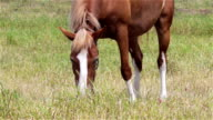horse grazing video
