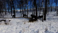 Horse herd in a snowy birch forest video