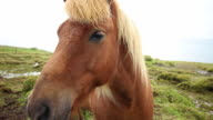 Horse in Iceland Highlights video