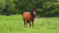 horse on summer meadow video