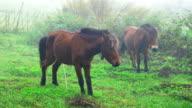 Horse Peeing video