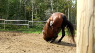 Horse rolling video