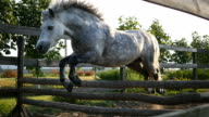 Horse runs on the sand and jumps through a barrier. Training of white little pony. Slow motion, close up. video