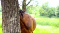 Horse tied to a tree. video