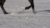 SLOW MOTION: horse trotting video