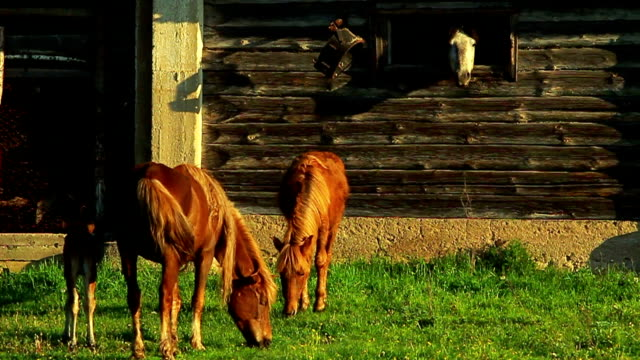 Horses and foal video