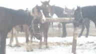 Horses at the hitching post in winter, a heavy fog. video