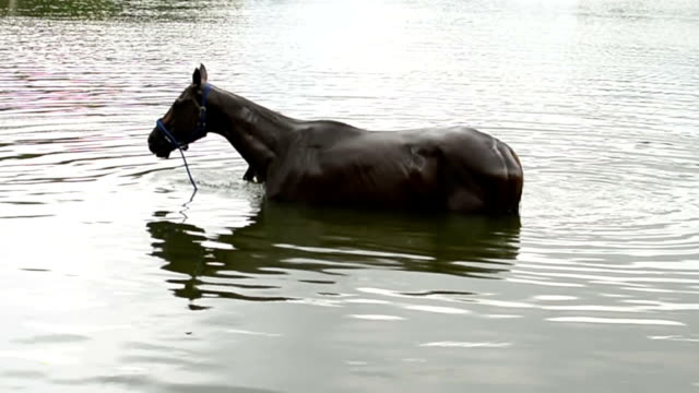 Horses bathe in the river video