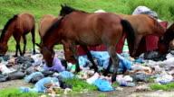 Horses eating garbage at dump video