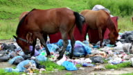 Horses eating garbage at dump video
