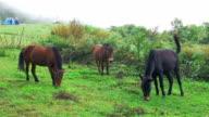 Horses eating grass on the hillside video