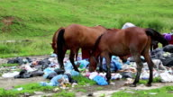 Horses eating household refuse at dump video