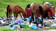 Horses eating household refuse at dump video