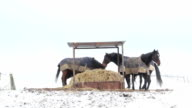 Horses eating straw and fighting under a shelter video