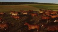 Horses galloping on meadow. video