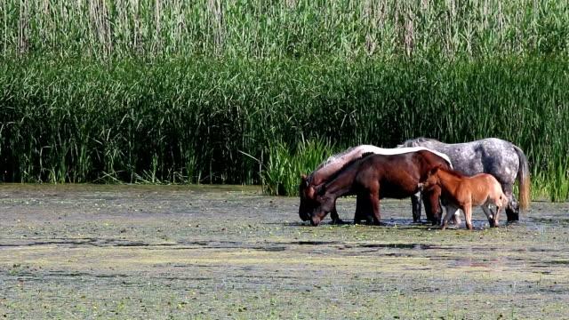 horses graze on the river video