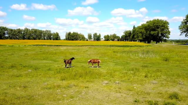 Horses Grazing In Pasture video