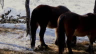Horses in a snowy birch forest eating grass video