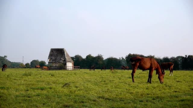 Horses in Normandy, France video