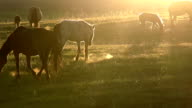 Horses in the early morning video