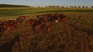 Horses run on meadow video
