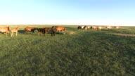 Horses Walking Across Mongolian Steppe At Sunset video