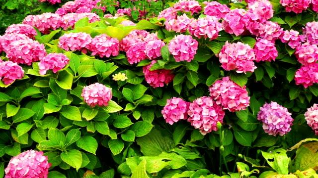 Hortensia in the garden video