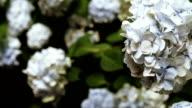 Hortensia tree in botanic garden video