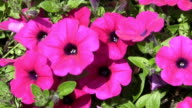 Hot pink flowers. video