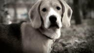 Hound beagle dog tracks down fowl video