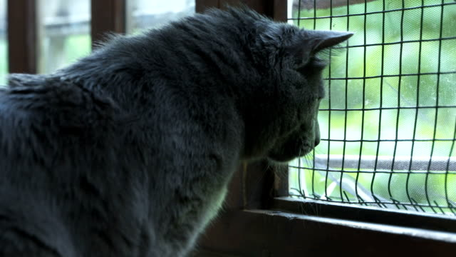House cat looking out the open window with protective wire mesh video