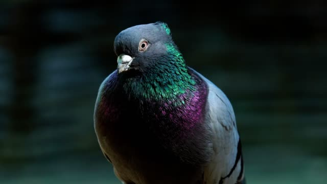 A house pigeon with lilac plumage sits on a fence. Pigeon turns his head and looks around. video