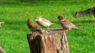 House Sparrow and Greenfinch video