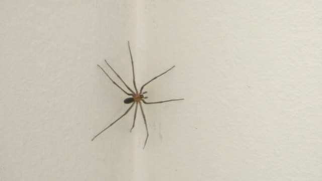 House Spider video