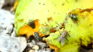 Housefly eating a fruit video