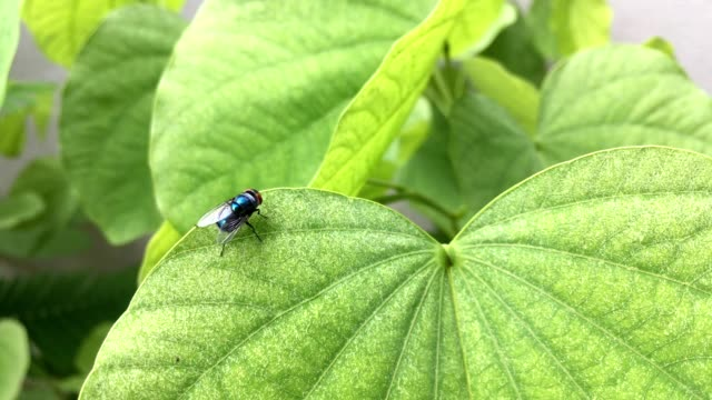 Housefly resting on leaf video
