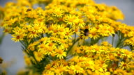 Hoverfly and bee collecting nectar from yellow ragwort flowers. video