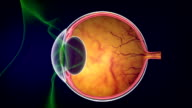 How human eyes work video